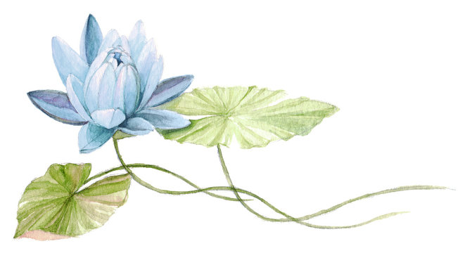Water Lily or lotus flower on the water (Skyblue). Hand drawn, watercolor botanical illustration.