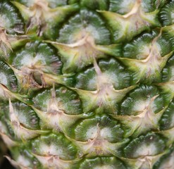 Pineapple - herbaceous plants Bromeliads of America