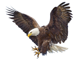 Bald eagle landing swoop hand draw and paint on white background illustration.