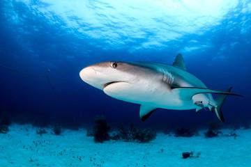 Shark Underwater on a Dark Afternoon