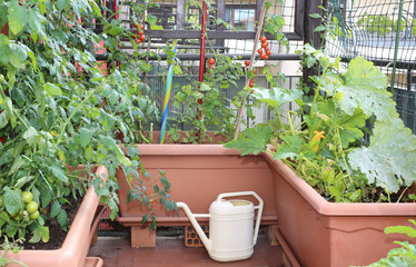 Fototapeta watering can and  pots with plants of red tomatoes in a urban ga obraz