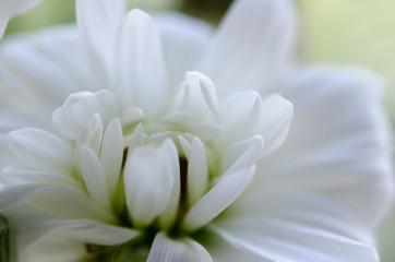 White chrysanthemum macro