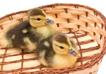 ducklings in a basket on a white background