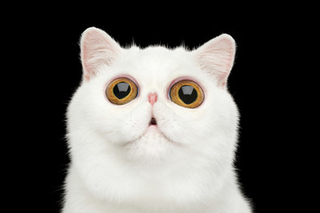 Close-up Funny Portrait of surprised Pure White Exotic Cat Head on Isolated Black Background, Front view, Curious fascinated Looking up, Huge Eyes Wall mural