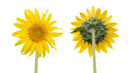sunflower isolated front and back side