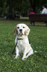 Female beagle waiting for a walk in a park