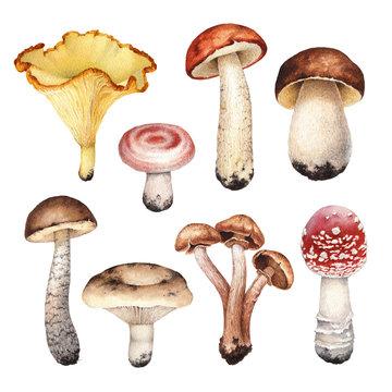 Watercolor illustrations of mushrooms