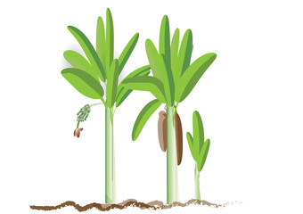 Banana tree landscape picture
