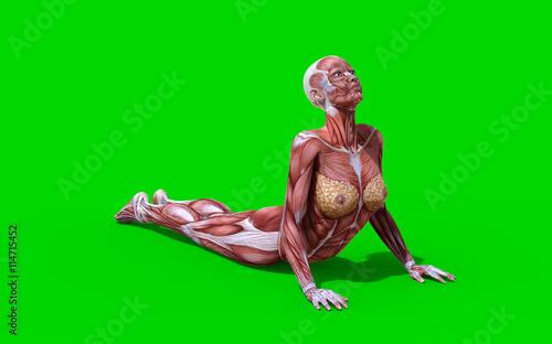 3D digital render of a scorpion pose anatomy figure with ... on yoga energy, yoga international, yoga back, yoga stretches, yoga adrenal glands, yoga leg workout, yoga history, yoga skin, yoga peace, yoga anatomy, yoga strength, yoga mind, yoga bones,