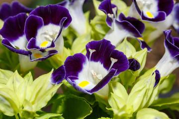 濃紫のトレニア