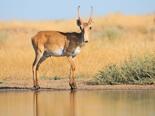 Foto op Canvas Antilope Wild male Saiga antelope near watering in steppe