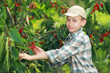 Счастливый мальчик собирает черешню в саду