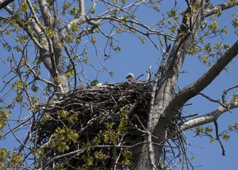 Eaglet in Nest
