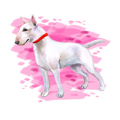 Watercolor closeup portrait of cute English Bull Terrier dog puppy isolated on white background. English shorthair terrier family dog. Hand drawn sweet home pet. Greeting card design. Clip art