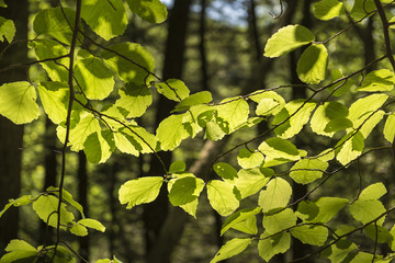 Beech Tree Leaves Backlit by the Sun