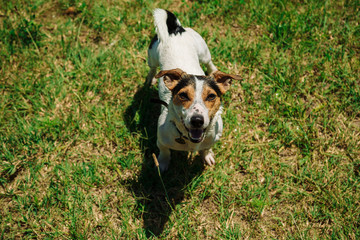 small dog breed Jack Russell Terrier sitting on the grass and looking at the camera