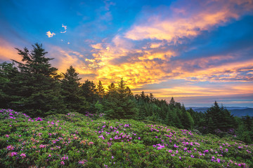 Catawba rhododendron, scenic sunrise, Roan Mountain Tennessee
