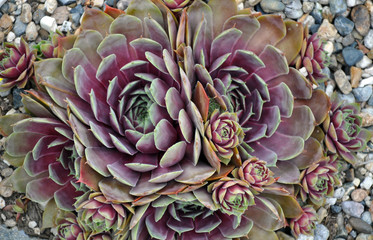 Green and purple hens and chicks plants