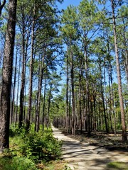 Forest of tall pine trees and a bright blue sky