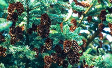 Cones on a spruce branch