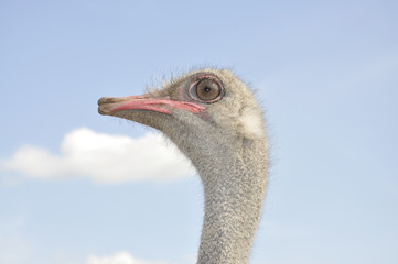 African ostrich. Male head. Profile view.
