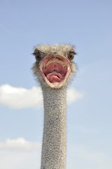 African ostrich. Angry bird