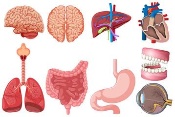 Set of human anatomy