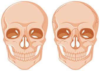 Two skulls on white background