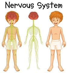 Nervous system of human boy