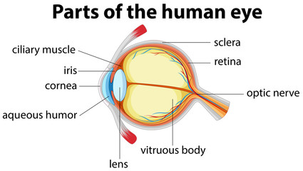 Parts of human eye with name