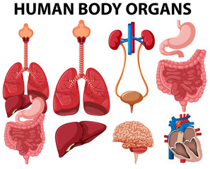Different type of human body organs