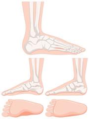 Set of human foot bone