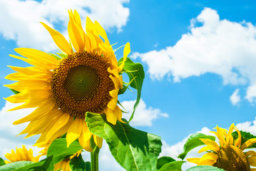 Sunflower against the blue cloudy sky on a hot summer day