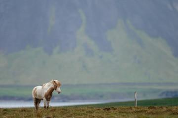 Icelandic horses in a Icelandic landscape