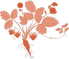 sketch of Strawberry plant