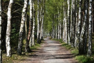 Durch den Birkenwald