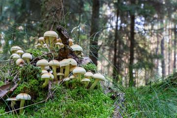 viele Schwefelköpfe im Wald auf einem Baumstumpf