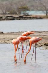 Flamingos im See