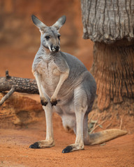 Red kangaroo (Macropus rufus) portrait