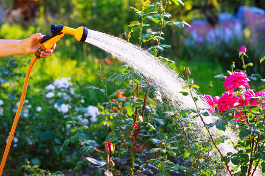 Senior woman hand holding hose sprayer and watering rose flowerbed in garden
