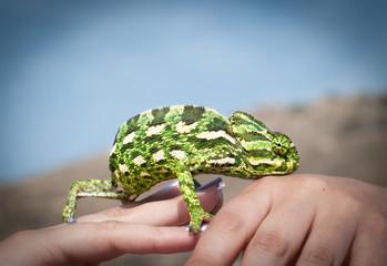 Chameleon on a man's hand