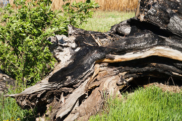 Charred trunk in a forest glade.