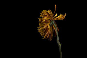 Yellow chrysanthemum against black background