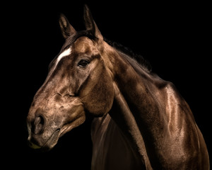 Portrait of racehorse against black background
