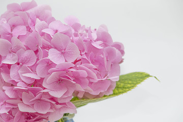 pink hydrangea (isolated hydrangea ) close up hydrangea