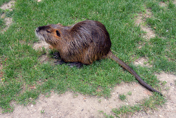 Coypu on the grass in city park