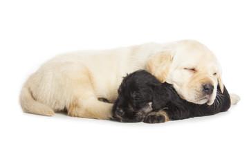 Wall Mural - Labrador Retriever and Miniature Schnauzer black puppies