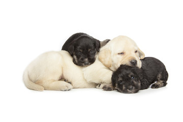 Fototapete - Labrador Retriever and Miniature Schnauzer black puppies