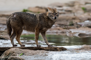 Jackal standing next to river