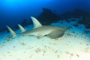 White-spotted Guitarfish (other names Shark Ray, Shovelnose Ray)